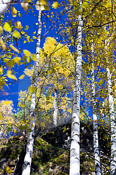 Autumn Birches 3 Royalty Free Stock Photography - Image: 6675497