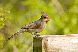 A Cardinal Perched On A Feeder Stock Photography - Image: 6675582