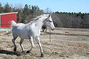 White Horse Cantering In Spring Stock Photography - Image: 6677772