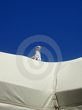 Seagull Royalty Free Stock Photography - Image: 6679877