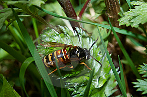 Wasp Royalty Free Stock Photos - Image: 6680618