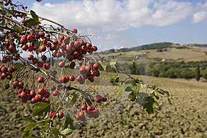 Tuscan Landscape, Focus On A Branch Royalty Free Stock Photos - Image: 6682658