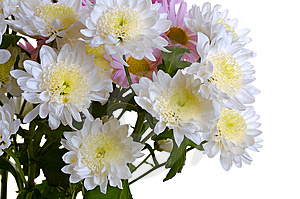 Garden Chrysanthemum Royalty Free Stock Photography - Image: 6685497