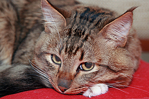 Cat Laying On A Red Pillow Royalty Free Stock Image - Image: 6685516