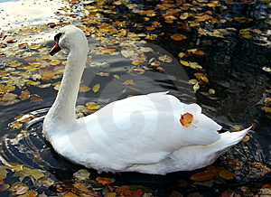 Swimming Swan In Autumn Park Stock Photos - Image: 6685823