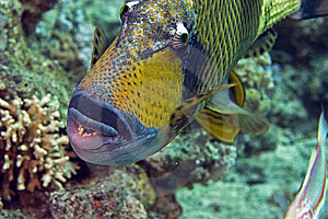 Titan Triggerfish ( Balistoides Viridescens) Stock Photos - Image: 6687263