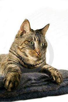 Staring Cat Royalty Free Stock Image - Image: 6687706