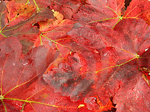 Autumn Leaves In Fiery Red Color Royalty Free Stock Images - Image: 6689119