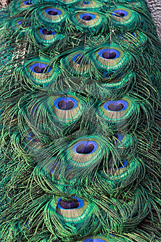 Peacock  Tail Close Up  Royalty Free Stock Images - Image: 6690679