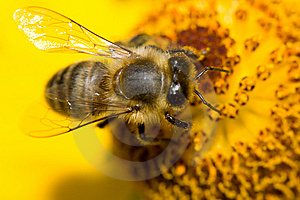 Bee On Yellow Flower Royalty Free Stock Images - Image: 6692839