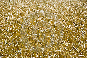 Wheat Field Royalty Free Stock Photography - Image: 6695897