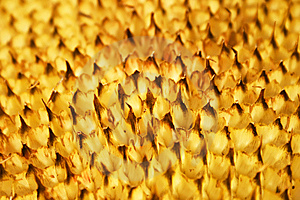 Mesh In A Sunflower Stock Photos - Image: 6698873
