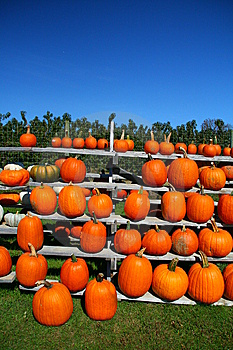 Rows Of Pumpkins Stock Image - Image: 6702641