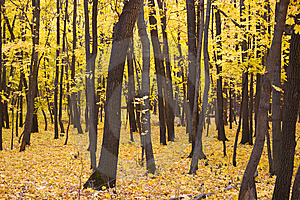 Trees With Yellow Leaves Royalty Free Stock Photos - Image: 6706528