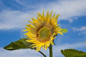 Sunflower On Sky Background Royalty Free Stock Image - Image: 6708426