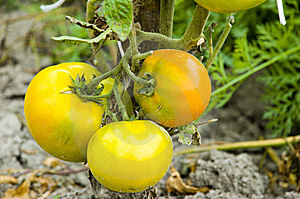 Yellow Tomatos Royalty Free Stock Photo - Image: 6708775