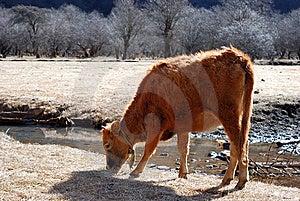 Frôle La Vache Image libre de droits - Image: 6709626