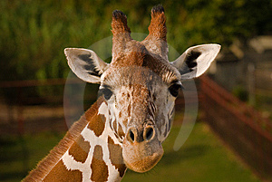 Giraffe Face. Royalty Free Stock Photography - Image: 6716067