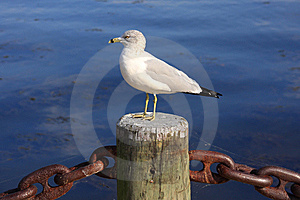 Seagull Royalty Free Stock Image - Image: 6716526