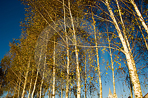 Birch Grove Stock Photo - Image: 6720490