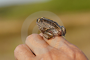 Fingers On The Frog Stock Image - Image: 6727811