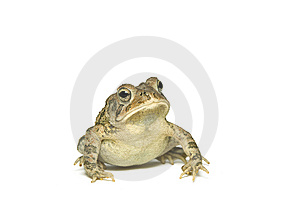 Southern Toad Leaning Stock Images - Image: 6733004