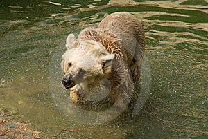 Brown Syrian Bear Royalty Free Stock Images - Image: 6733509
