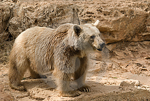 Brown Syrian Bear Royalty Free Stock Images - Image: 6733639