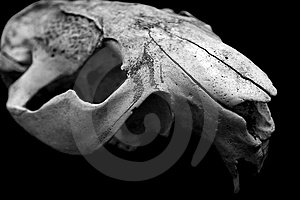 Skull Animal Closeup Stock Photo - Image: 6738220
