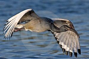 African Sacred Ibis Royalty Free Stock Photo - Image: 6741845