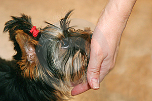 Hand And Yorkshire Terrier Stock Photo - Image: 6741860