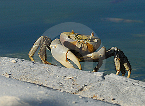Cuban Ghost Crab Stock Photos - Image: 6752603