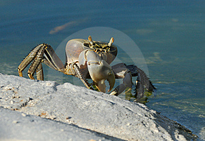 Cuban Ghost Crab Royalty Free Stock Images - Image: 6752629