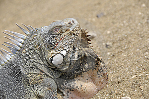 Portrait Of A Iguana Stock Photography - Image: 6757132