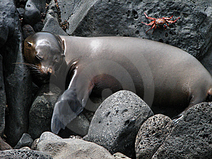 Sleeping Sea Lion Royalty Free Stock Image - Image: 6759166