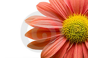 Orange Pink Daisy Isolated On White,clipping Path Royalty Free Stock Images - Image: 6766929