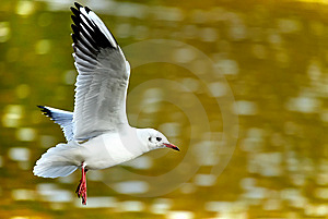 Flying Gull Royalty Free Stock Photography - Image: 6770977