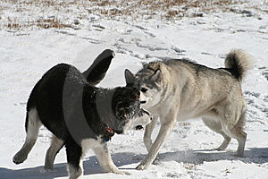 Dogs Playing In Snow Royalty Free Stock Photos - Image: 6779048