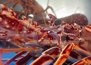 Captive Lobsters Closeup Royalty Free Stock Image - Image: 6782656