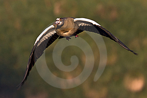 Egyptian Goose In Flight Stock Image - Image: 6785831