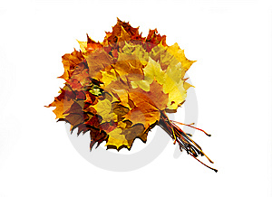 Bouquet Of Maple's  Leafs Royalty Free Stock Photos - Image: 6786768