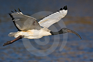 African Sacred Ibis Stock Images - Image: 6787414