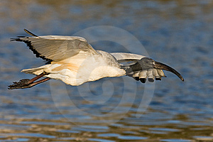 African Sacred Ibis Stock Photo - Image: 6787590
