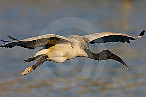 African Sacred Ibis Stock Photos - Image: 6787603