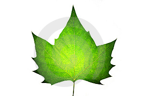 Maple Isolated On White Royalty Free Stock Image - Image: 6796206