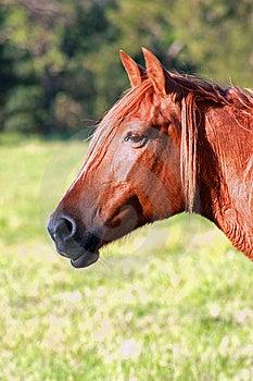 Sunburnt Equine Royalty Free Stock Photos - Image: 6796868