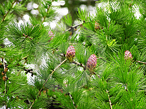 Plants With Cones Royalty Free Stock Images - Image: 6796969