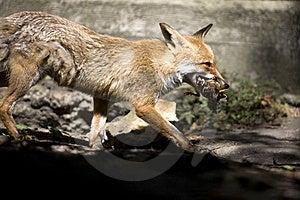 Fox Stock Photo - Image: 6797370