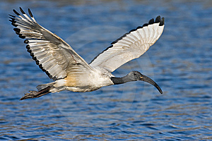 African Sacred Ibis Royalty Free Stock Photos - Image: 6797448