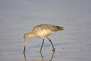 Marbled Godwit Feeding In A Pool Stock Photography - Image: 6798622